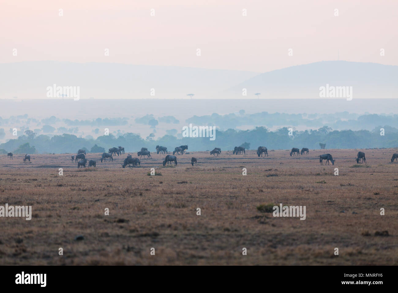 Wildebeests early morning in Masai Mara Kenya - Stock Image