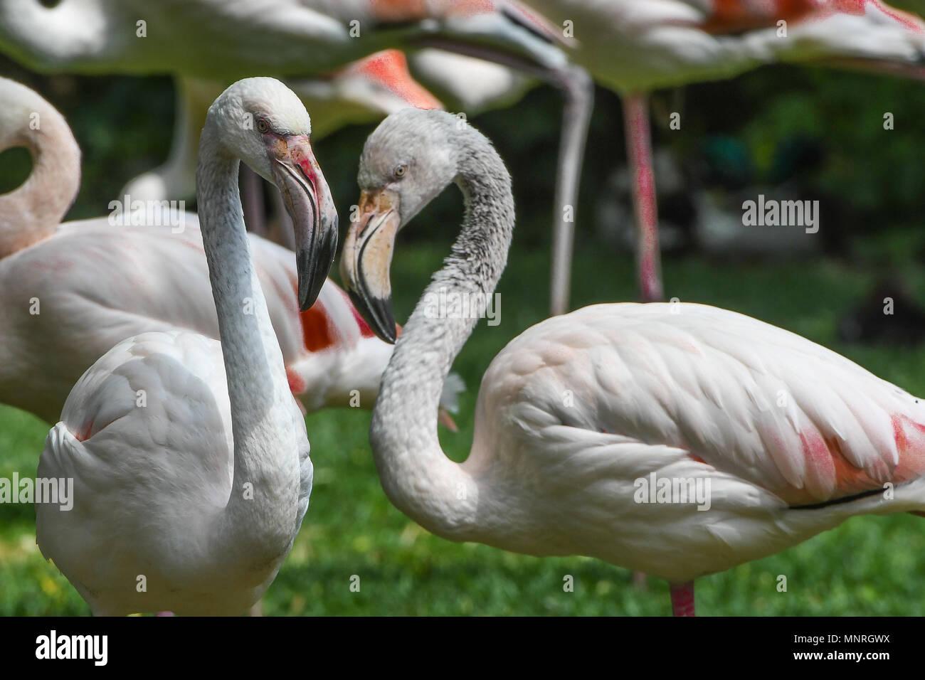 Rosa Flamingo,Phoenicopterus roseus,Greater Flamingo,Bird,Vogel,Voegel,Vögel,flamingo family,water,group, - Stock Image