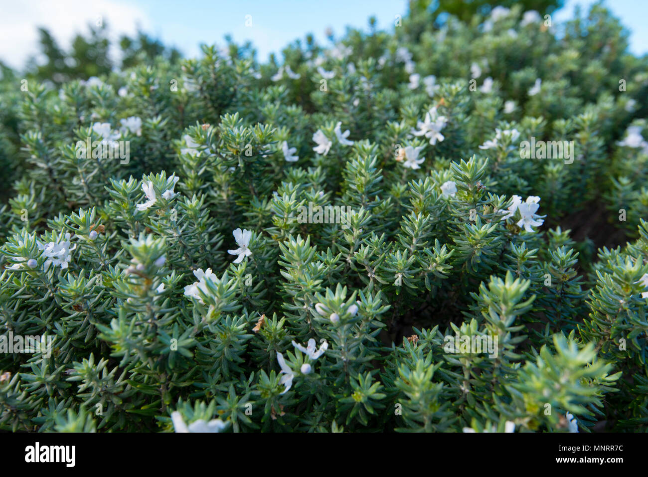 A close up of a Westringia Wynabbie Gem an Australian native salt and wind tolerant plant that is common up and down the NSW coast of Australia Stock Photo