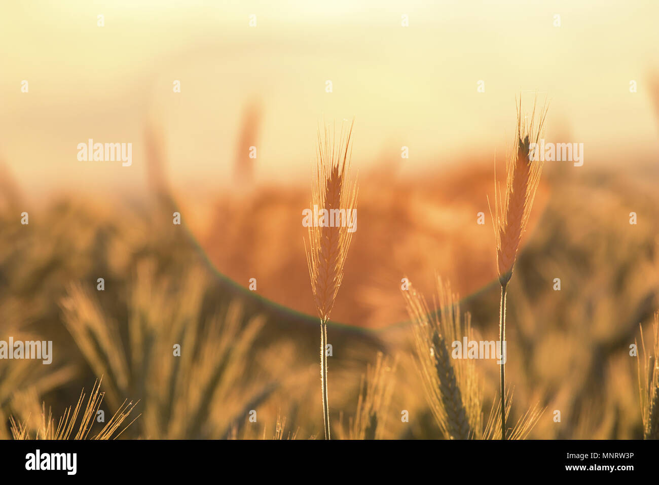Wheat ears under the sunshine. Sun shining through ripe wheat. Stock Photo