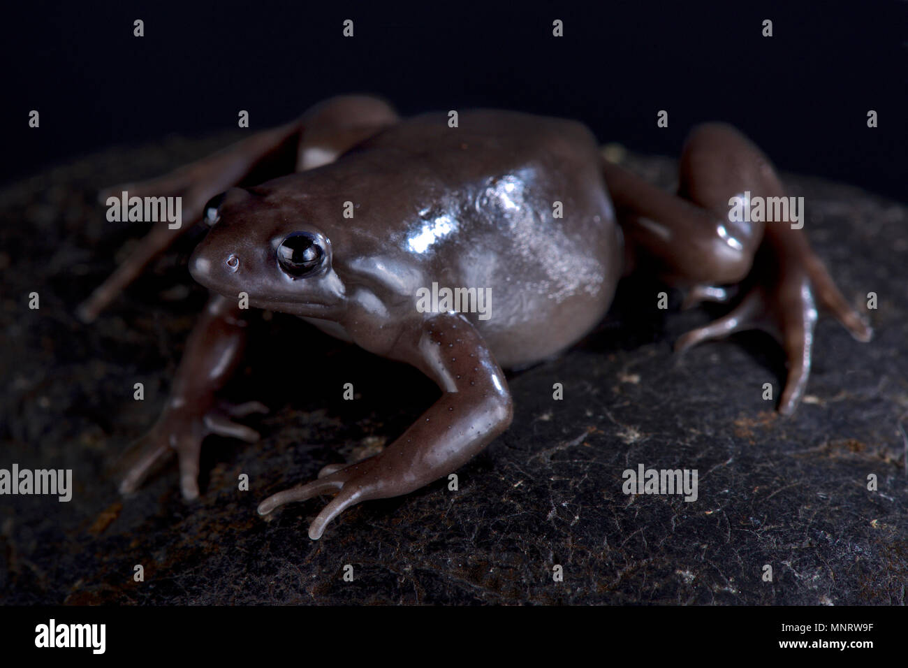 The Costa Rica Nelson frog (Ctenophryne aterrima) is a robust, terrestrial and nocturnal black frog species found in Panama,Costa Rica and Ecuador. - Stock Image