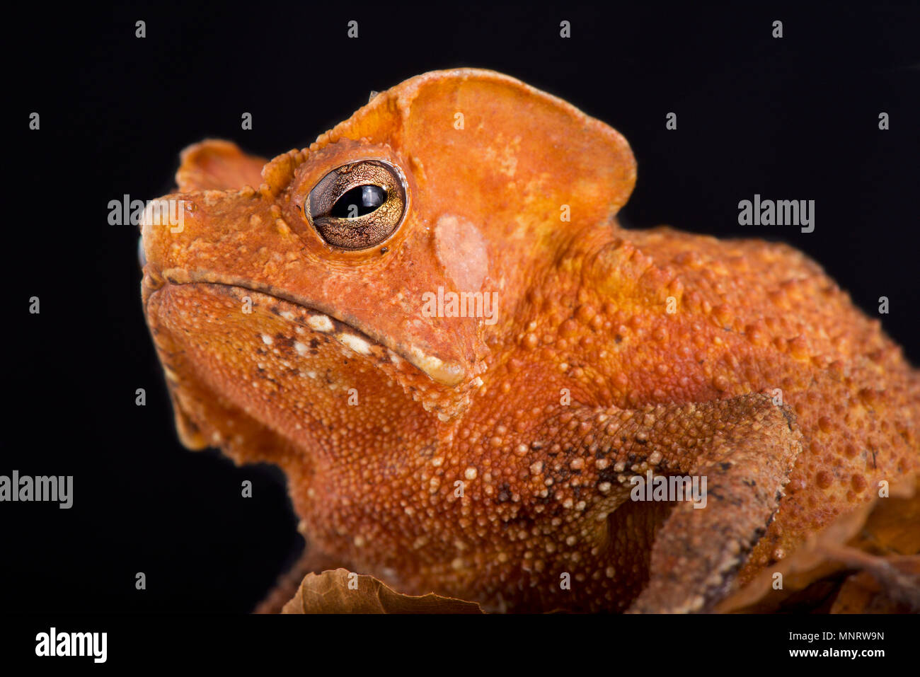 The Guiana Shield Leaf Toad (Rhinella lescurei) is a bizar, alien look, toad species found in Suriname,Guiana and probably Brazil. - Stock Image