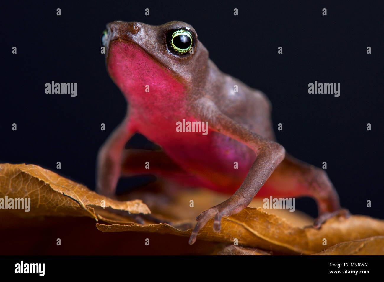 Central coast stubfoot toad (Atelophus franciscus) - Stock Image