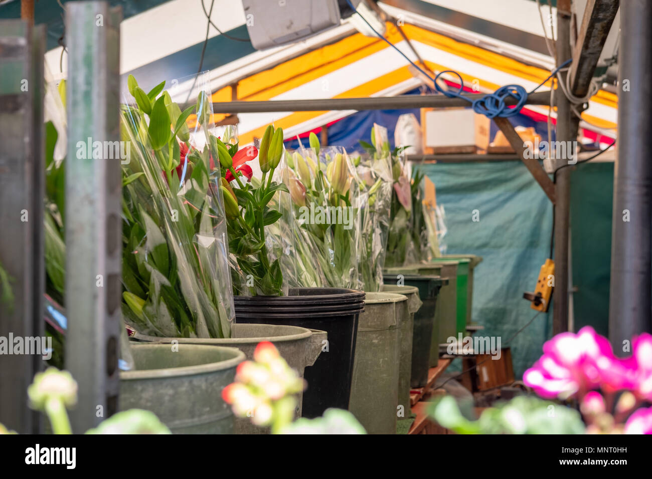 Isolated, shallow focus view of bunches of flowers seen in buckets of water, located inside a flower stall in a typical English town - Stock Image