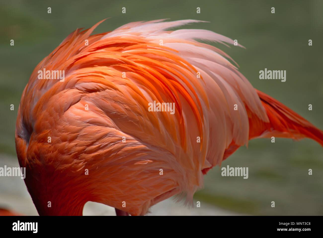 Flamingo at San Diego Zoo Stock Photo