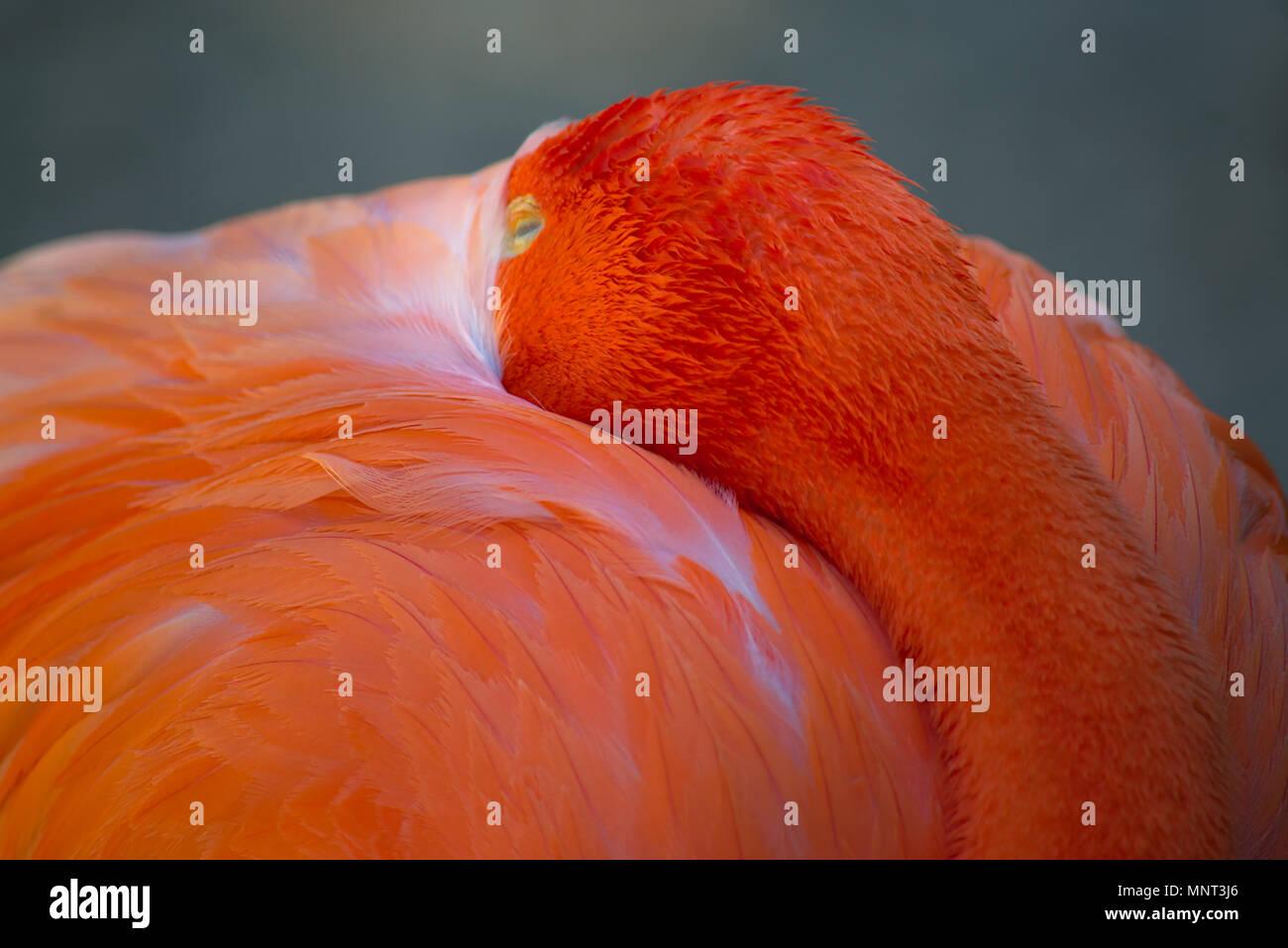 Flamingo at San Diego Zoo - Stock Image