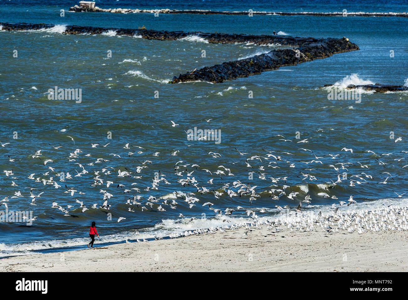 Girl scares seagulls to flight, Lake Erie, Conneaut, Ohio, USA. - Stock Image