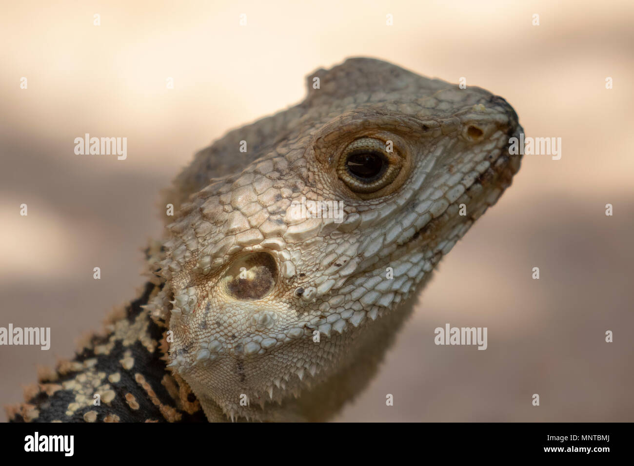 Starred agama, Stellagama stellio standing alert on a garden wall in cyprus during may - Stock Image