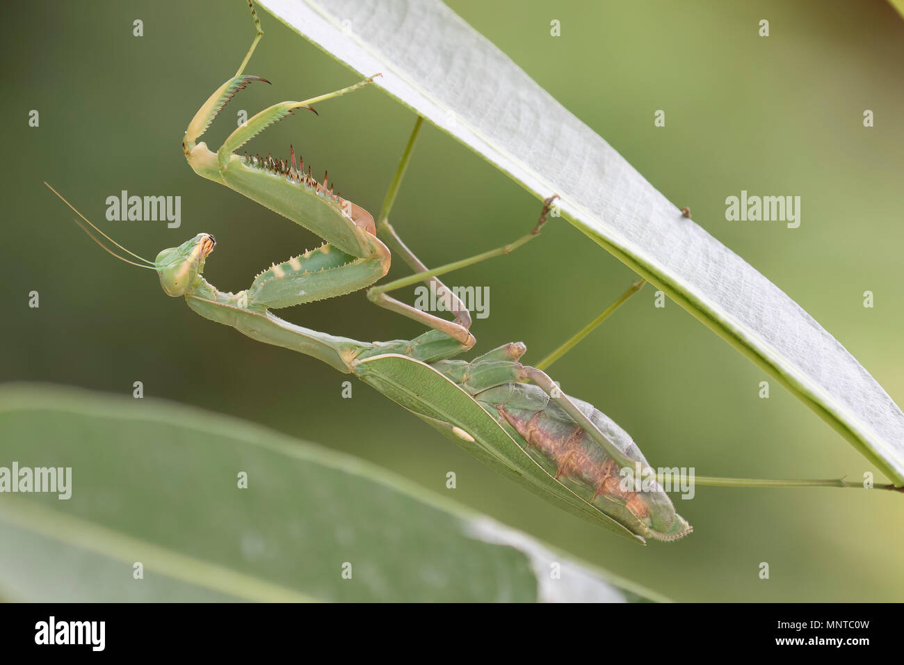 giant African mantis, Sphodromantis viridis in the wild amongst a bush in a garden in cyprus during may. Stock Photo