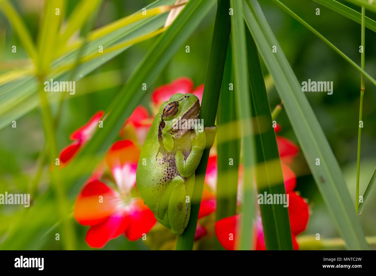 european green tree frog, Hyla arborea, resting by day, croaking by night in the wild in a cyprus garden. - Stock Image