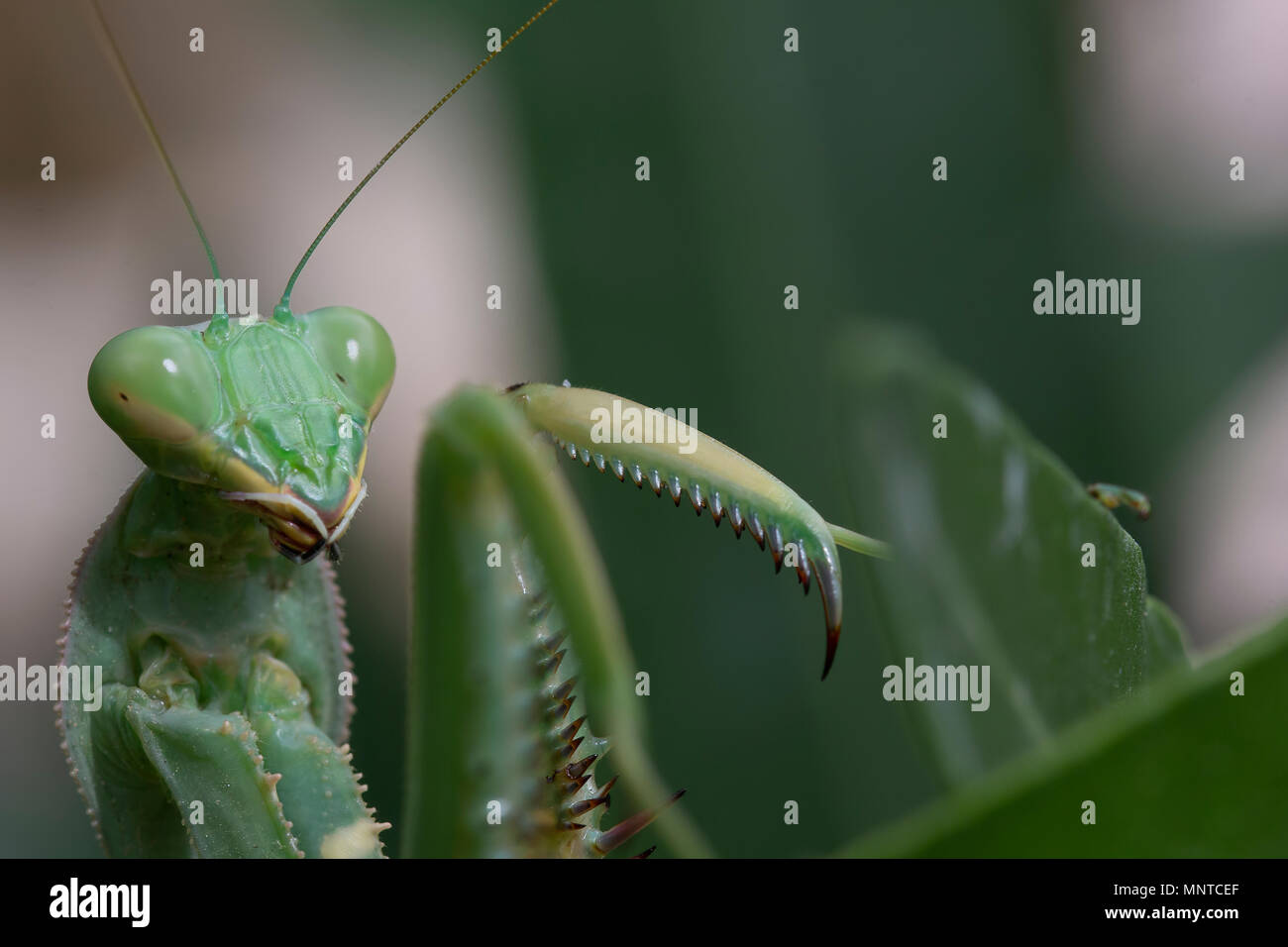 giant African mantis, Sphodromantis viridis in the wild amongst a bush in a garden in cyprus during may. - Stock Image