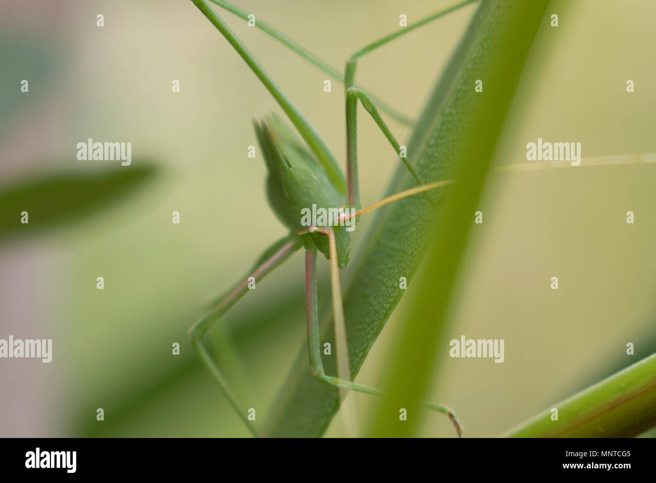 plump bush cricket in the wild walking on a bush in cyprus during may. - Stock Image