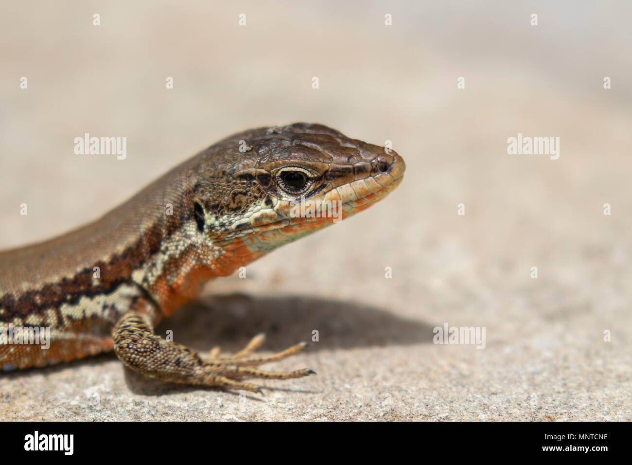 Troodos Lizard, Phoenicolacerta troodica, resting on the ground and on a branch in a garden on cyprus during may. - Stock Image