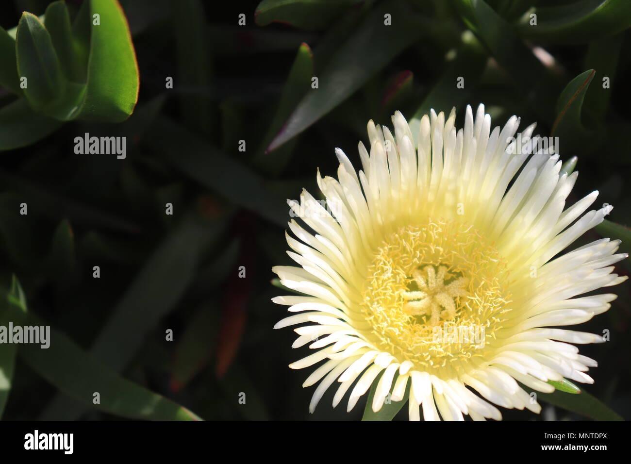 Wild Flower Dahlia In White Color Stock Photo 185549138 Alamy