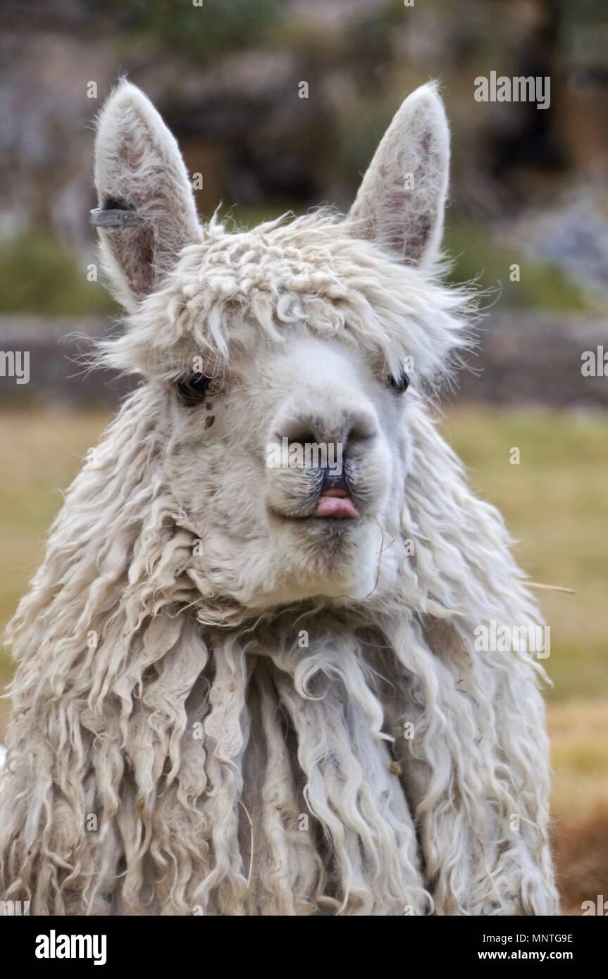 A cheeky llama - Stock Image