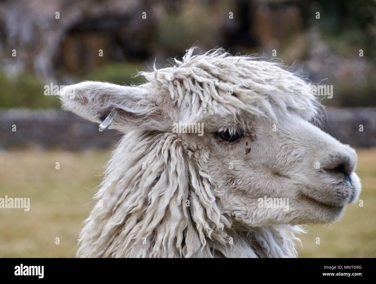 A llama enjoying the view - Stock Image
