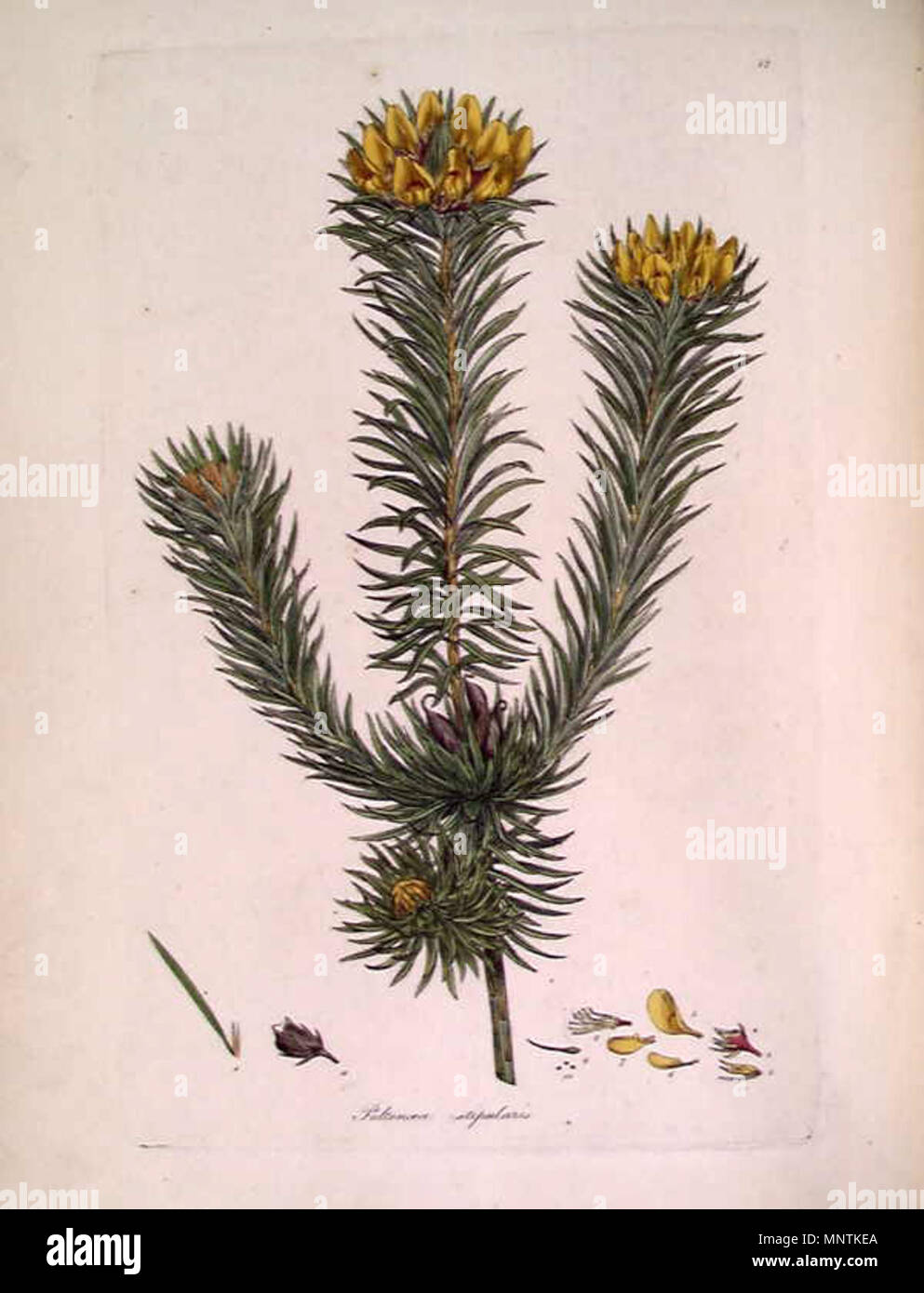 . This is an image of a print of a hand coloured engraving by James Sowerby (1757-1822), based on drawing nominally by John White but probably by the convict artist Thomas Watling. It appeared as Tab. XII in James Edward Smith's 1793 A Specimen of the Botany of New Holland. The plant depicted is Pultenaea stipularis. The accompanying text explains the figure thus: 1. A Leaf with its stipula. 2. Floral leaf and the stipula which accompanies it. 3. Calyx. 4. Its appendages. 5. Standard. 6. A Wing. 7. Keel. 8. Stamina and Pistillum. 9. Pistillum alone. 10. Rudiments of Seeds. 11. Pod inverted wit Stock Photo