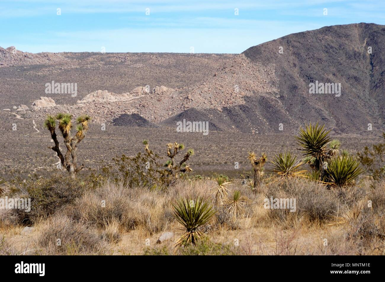 Joshua trees, Yucca brevifolia, Yucca palm, Mojave Yucca, Yucca shidigera, Monzogranite and Pinto Gneiss, across Pleasant Valley,  031129_0432 - Stock Image