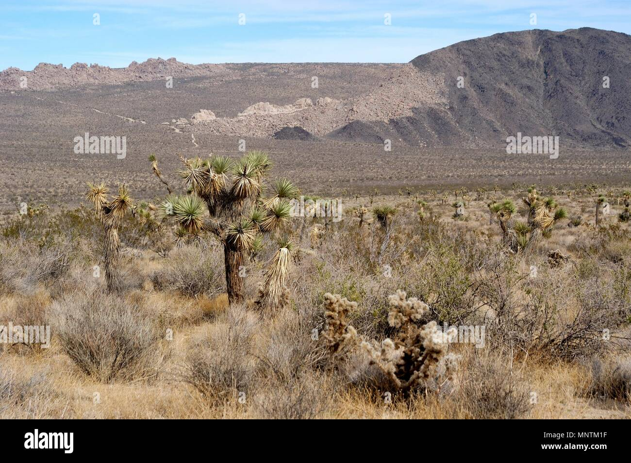 Joshua trees, Yucca brevifolia, Yucca palm,  Monzogranite and Pinto Gneiss, across Pleasant Valley,  Mojave Desert, Geology Tour Road, 031129_0433 - Stock Image