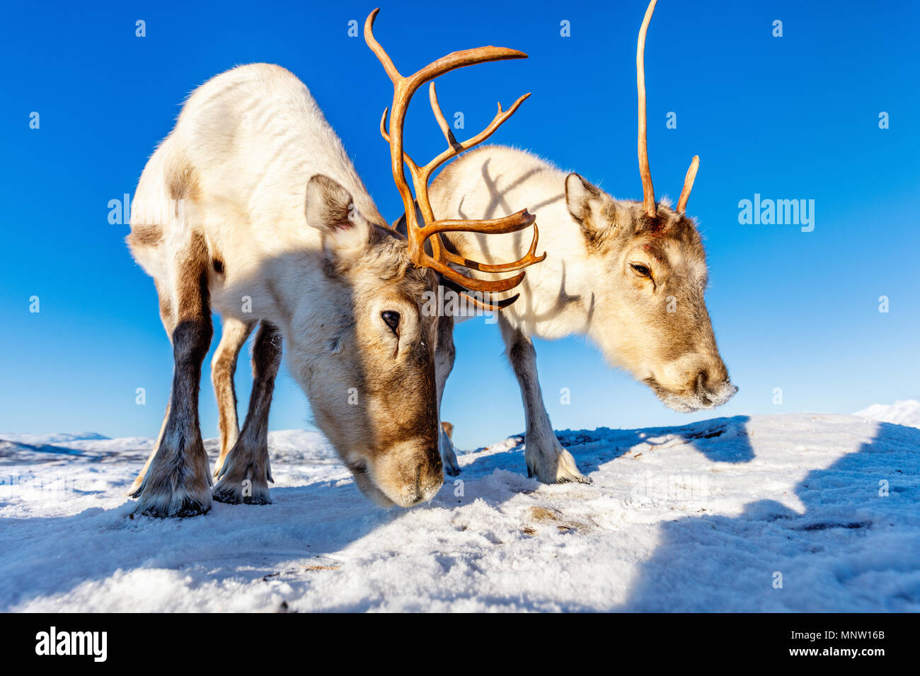 Reindeer in Northern Norway on sunny winter day - Stock Image