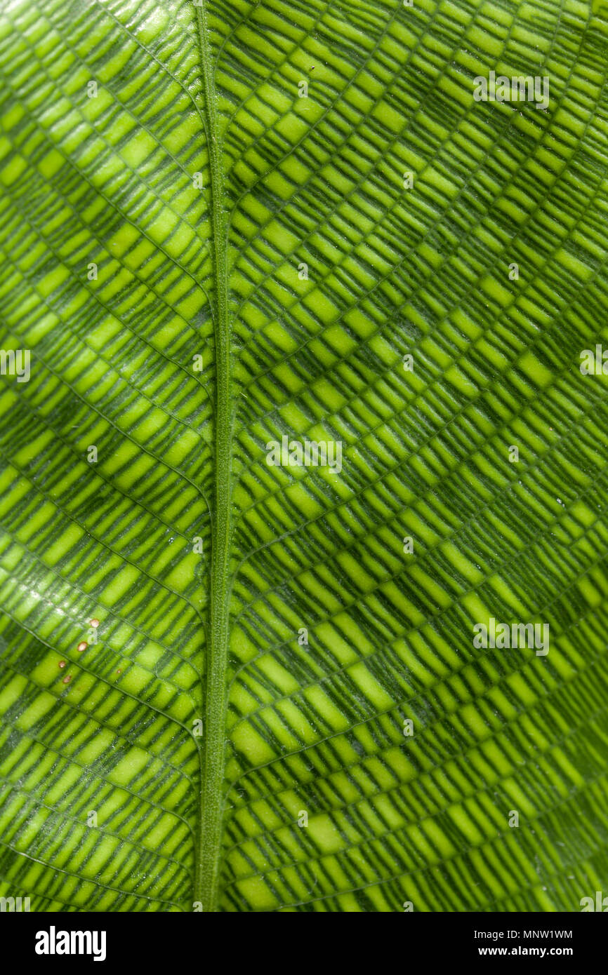 Detail of a Calathea Musaica or Network leaf. - Stock Image