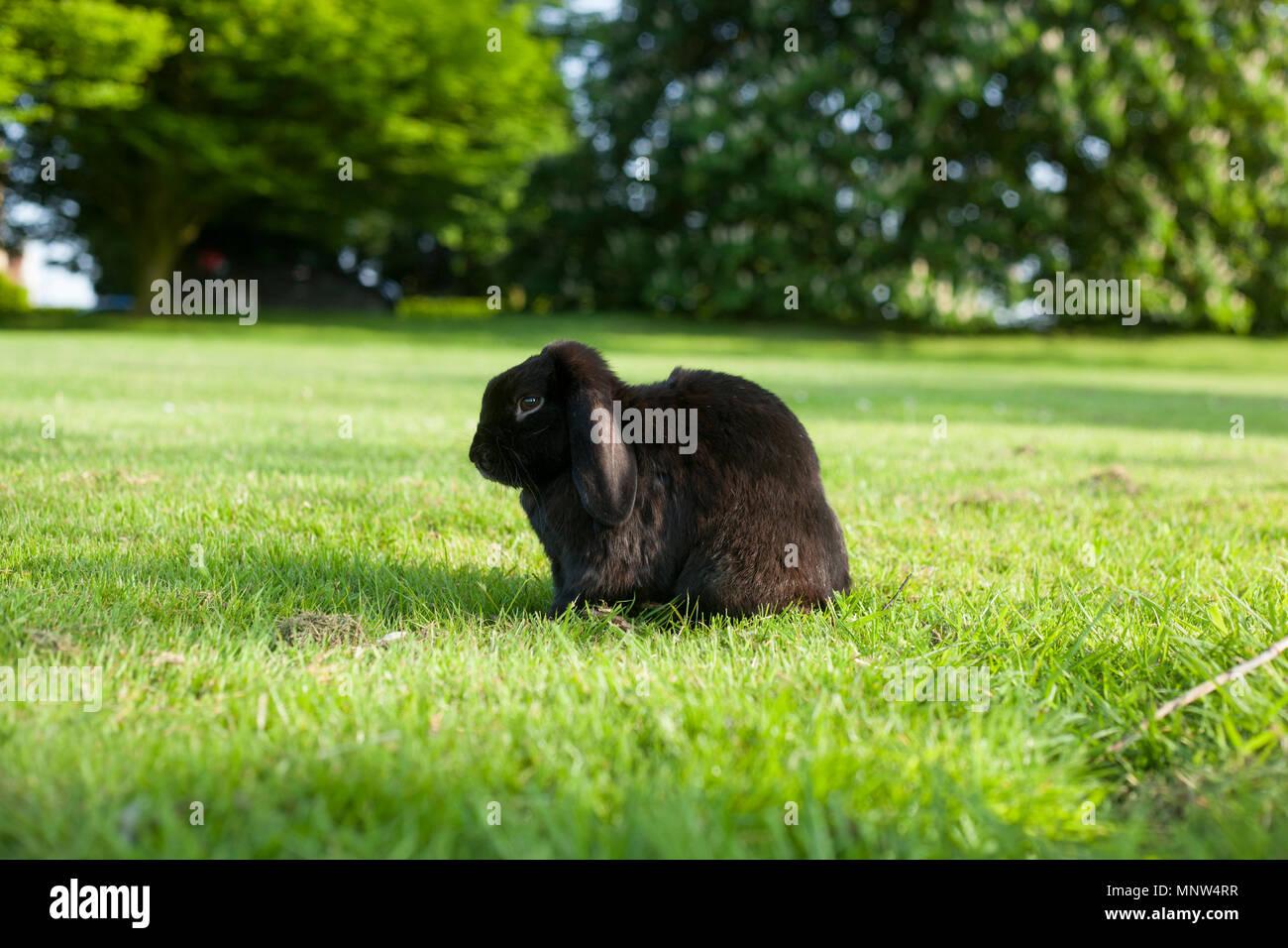 Lop Rabbit - Stock Image
