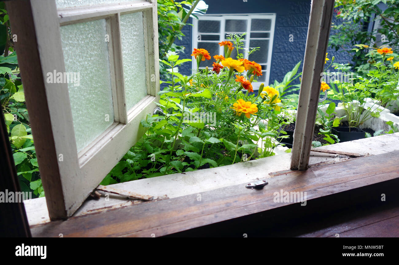 Rustic kitchen herb windowbox with mint, marigolds and coriander - Stock Image