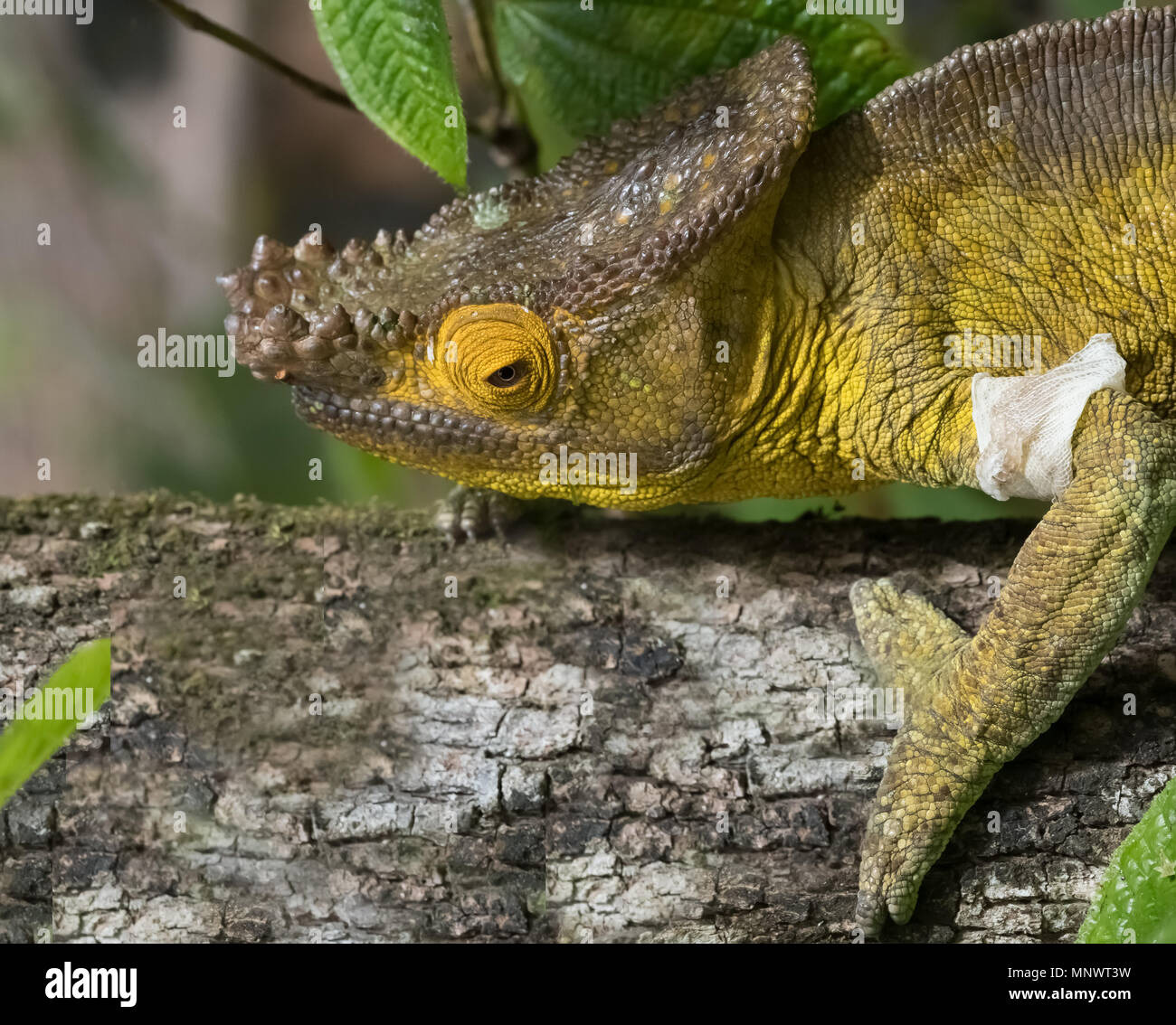 Chameleon in the primeval forests of the Andasibe National Park, Eastern Madagascar - Stock Image