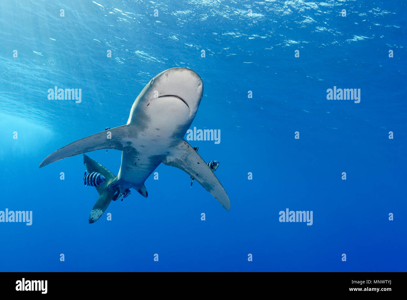 oceanic whitetip shark, Carcharhinus longimanus, with pilot fish, Naucrates ductor,  Daedalus Reef, Egypt, Red Sea, Indian Ocean - Stock Image