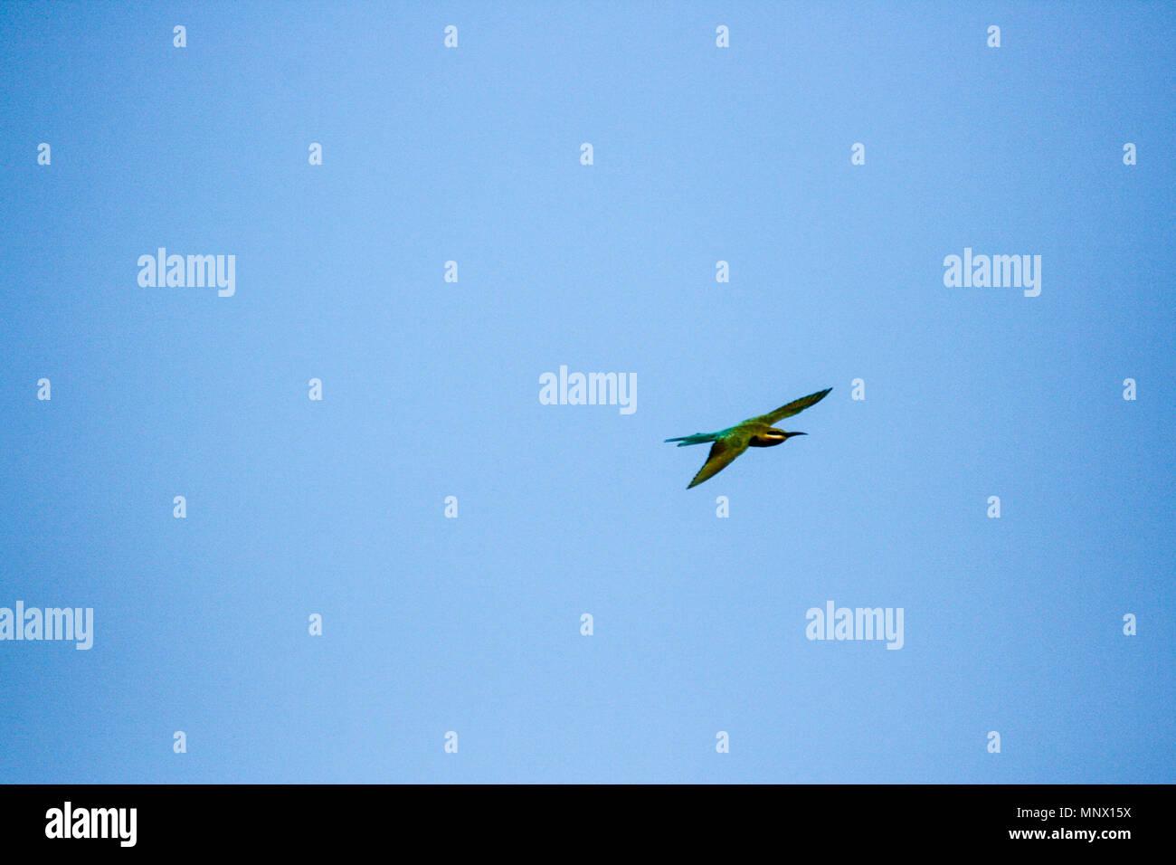 White-throat kingfisher (Halcyon smyrnensis) in Sri Lanka - Stock Image