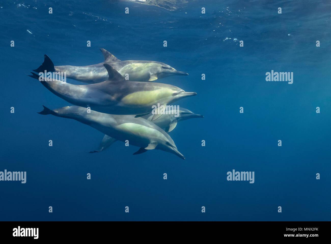 long-beaked common dolphin, Delphinus capensi, pod, South Africa, Porth Elisabeth, Algoa Bay, Indian Ocean - Stock Image