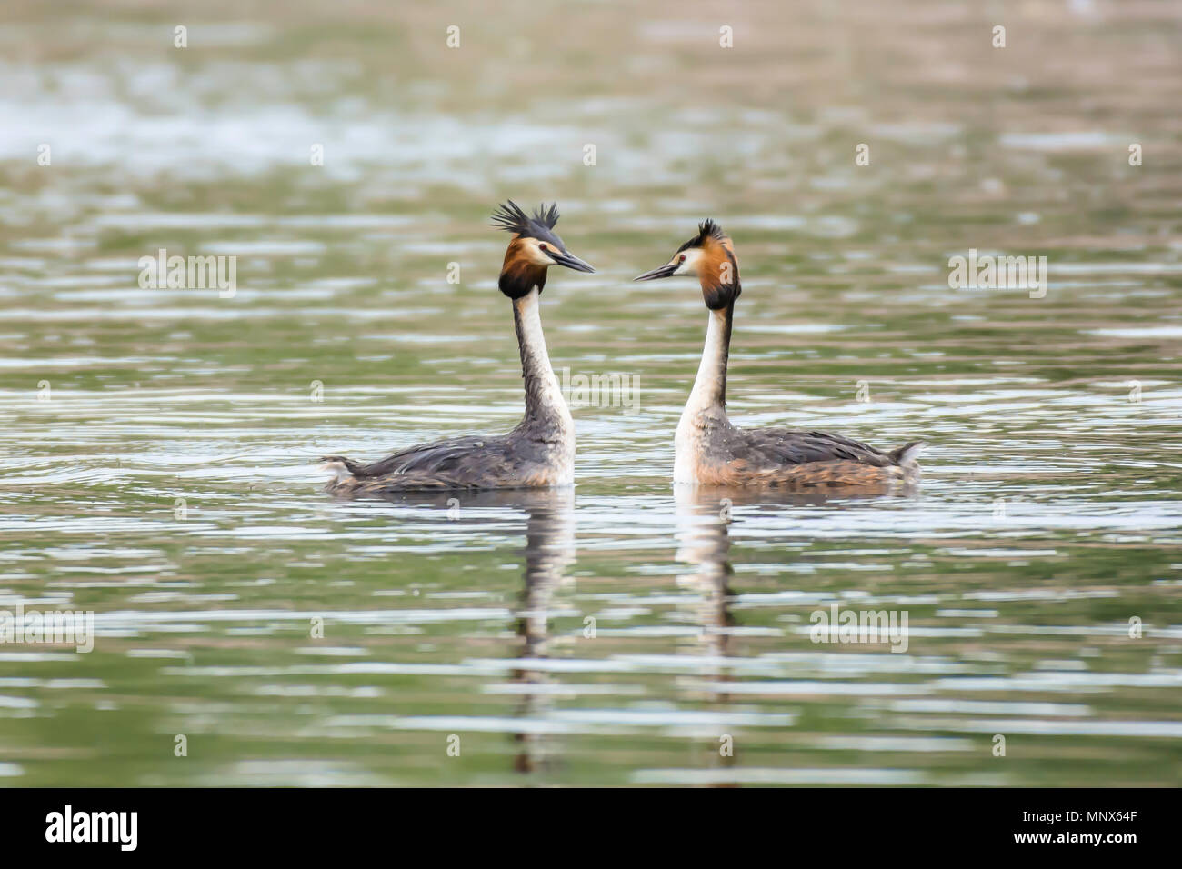 Pair of great crested grebes during mating season floating on lake surface and looking at each other.Stunning british wildlife,nature uk.Natural world - Stock Image