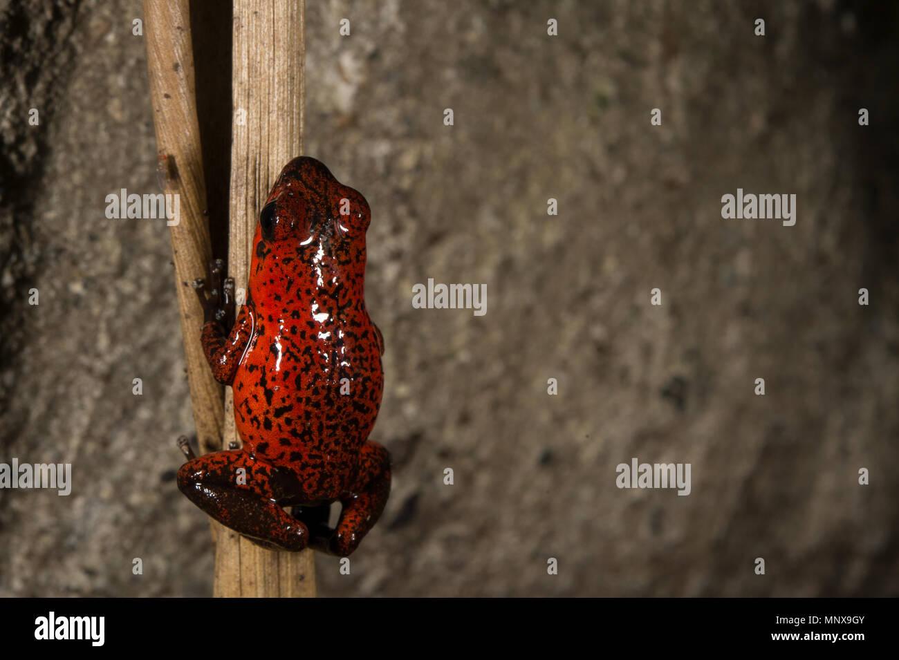 Strawberry Poison Dart Frog, Oophaga (Dendrobates) pumilio, Dendrobatidae, Costa Rica - Stock Image