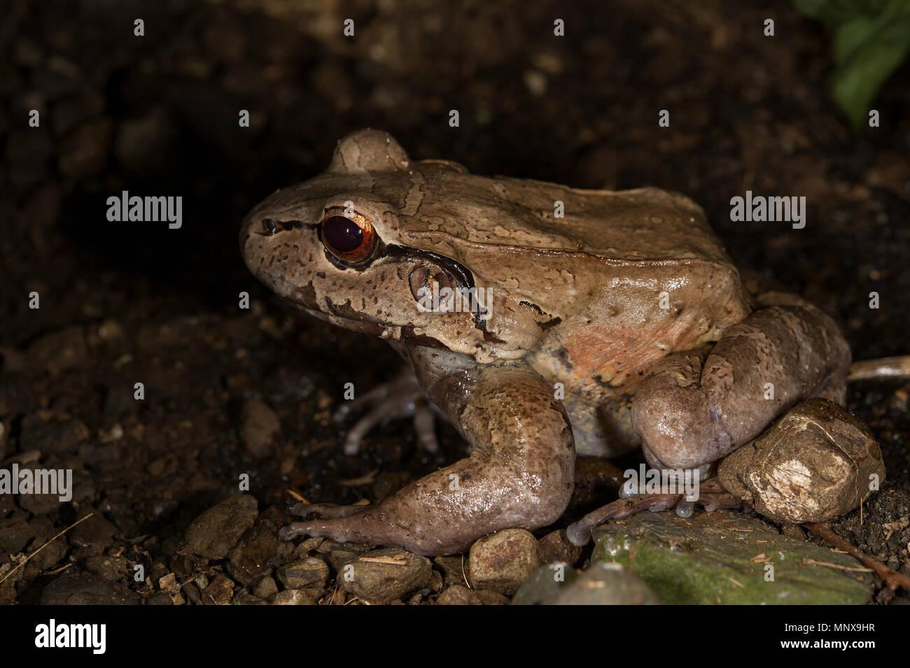 Atlantic Broad-headed Litter Frog, Craugastor megacephalus, Craugastoridae, Costa Rica - Stock Image