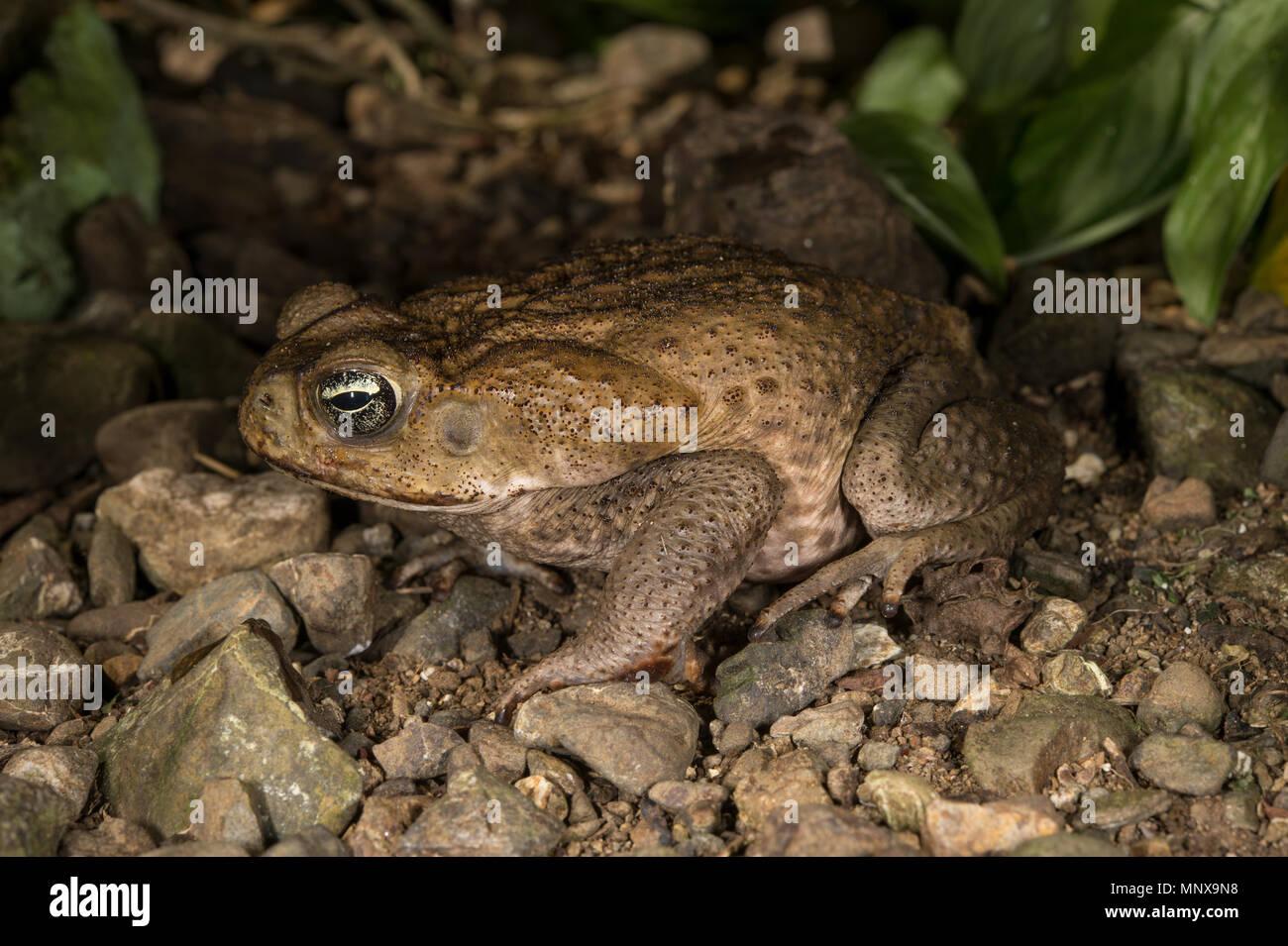 Cane Toad, Marine Toad, Rhinella marina, Bufonidae, Costa Rica - Stock Image