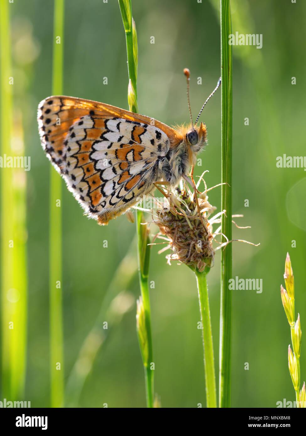 European butterfly at rest on grass.. Melitaea cinxia. Glanville fritillary. - Stock Image