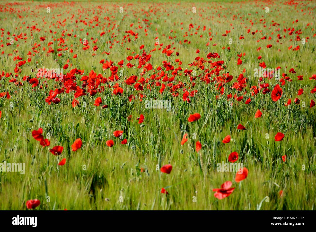 field of poppies, poppy, red, green, field - Stock Image