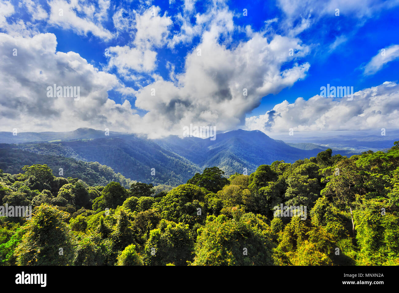 Lush green canopy of gondwana rainforest in DOrrigo national park as seen from main lookout towards distant mountain under blue bright sky. Stock Photo