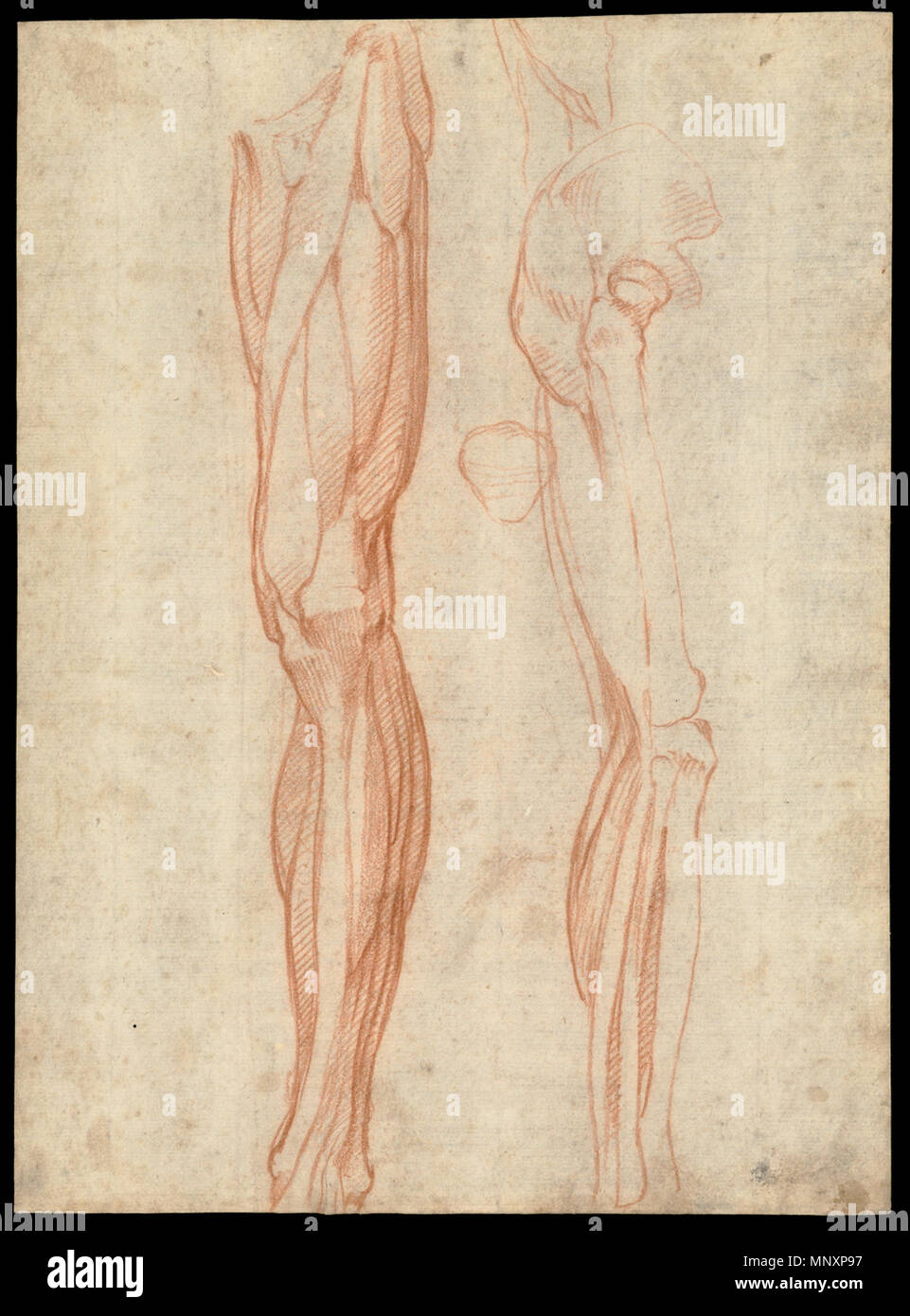1178 The Muscles Of The Left Leg Seen From The Front And The Bones