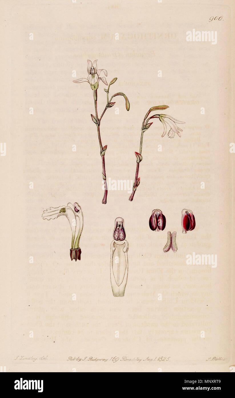 . Illustration of Pogonia ophioglossoides (as syn. Pogonia pendula) . 1825. Designer: M. Hart - Engraver: J. Watts 1011 Pogonia ophioglossoides (as Pogonia pendula) - Bot. Reg. 11 pl. 906 (descr. 908) (1825) Stock Photo