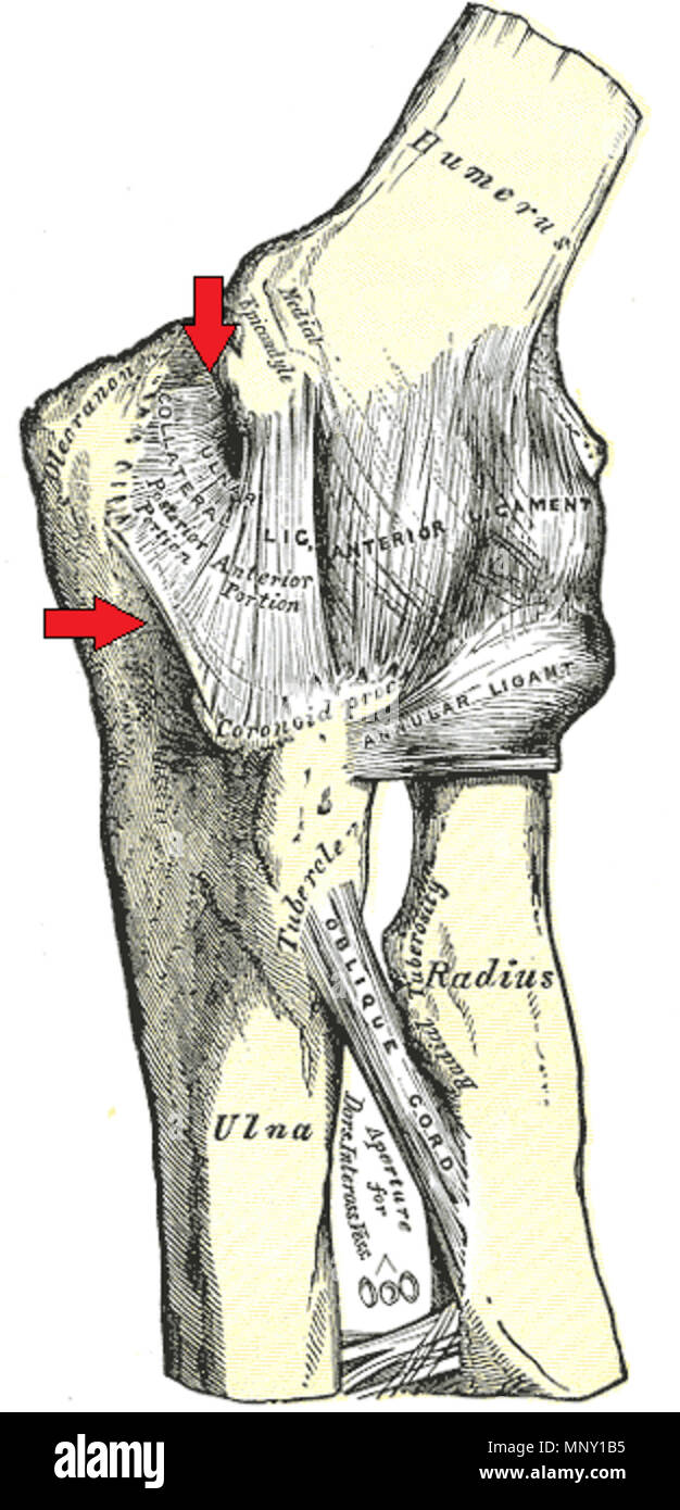 English Illustration Of The Bones And Ligaments Of The Elbow With