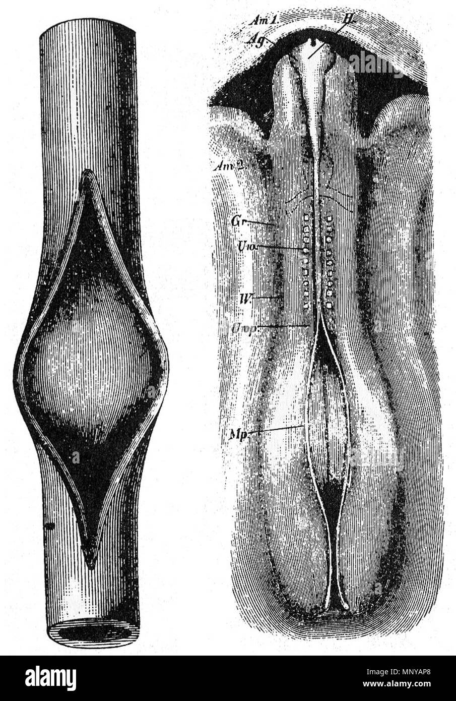 . English: Wilhelm His drawing of chick embryo compared to slit rubber tube, 1874 . 1874. Wilhelm His, Sr (1831–1904) 1259 Wilhelm His chick embryo compared to slit rubber tube - Stock Image