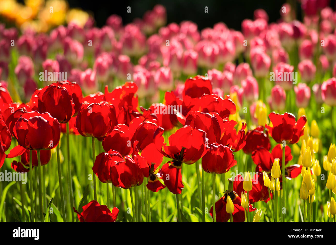 Colorful tulips with blooming buds and falling petals lit with the sun - Stock Image