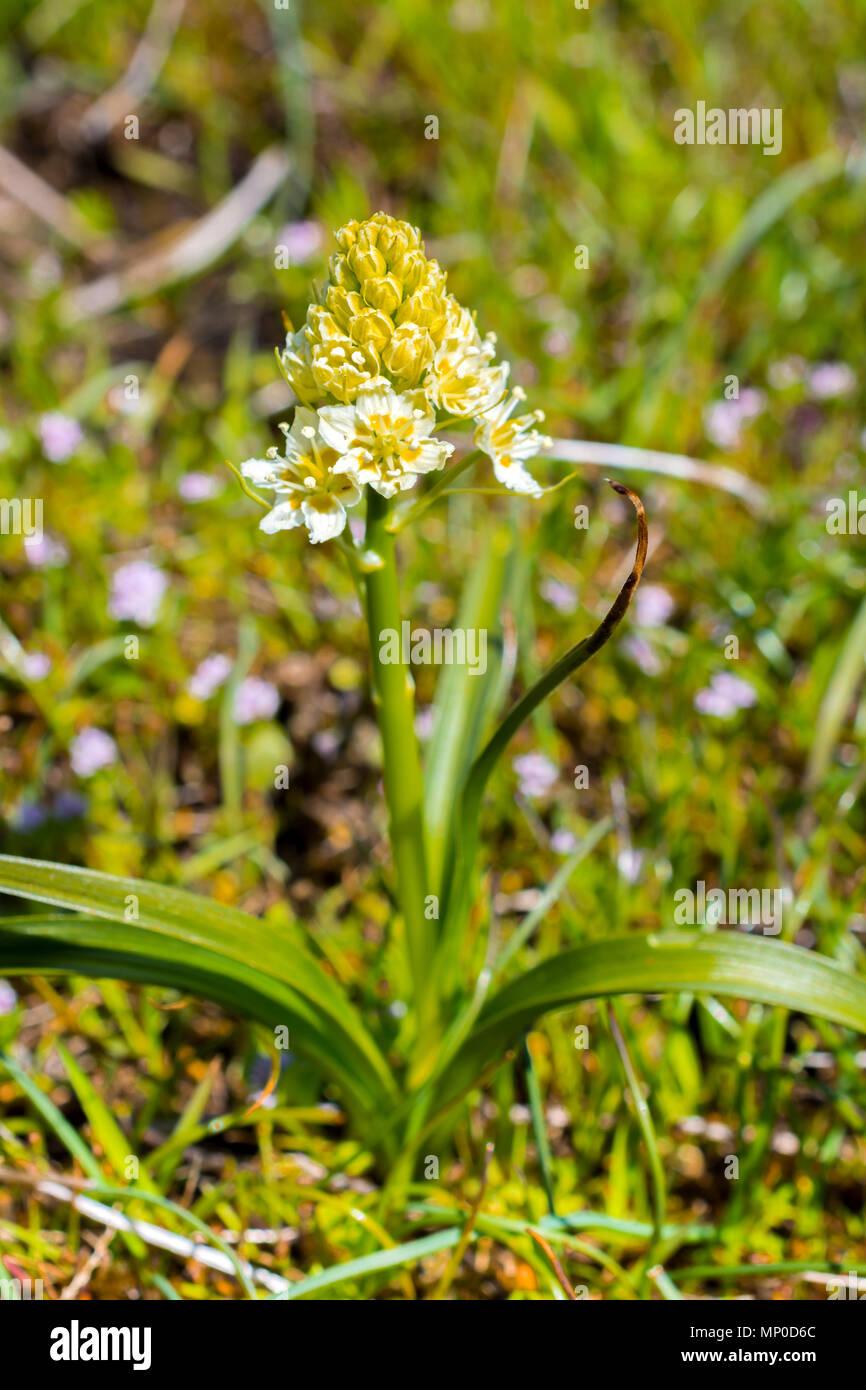 Meadow Death Camas - Zigadenus venenosus - Hornby Island, BC, Canada. - Stock Image