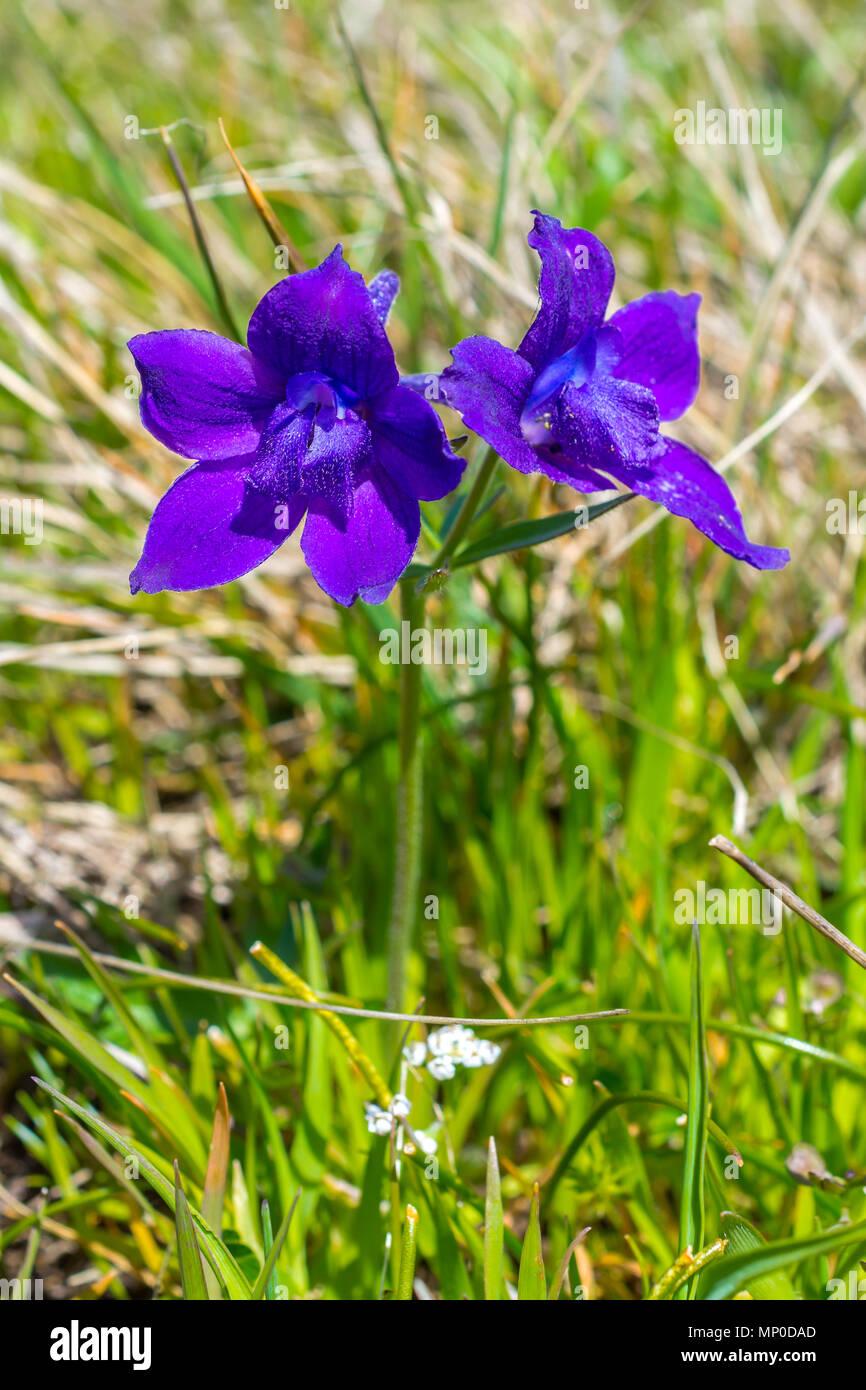Mountain Monkshood - Aconitum delphiniifolium - Hornby Island, BC, Canada; - Stock Image