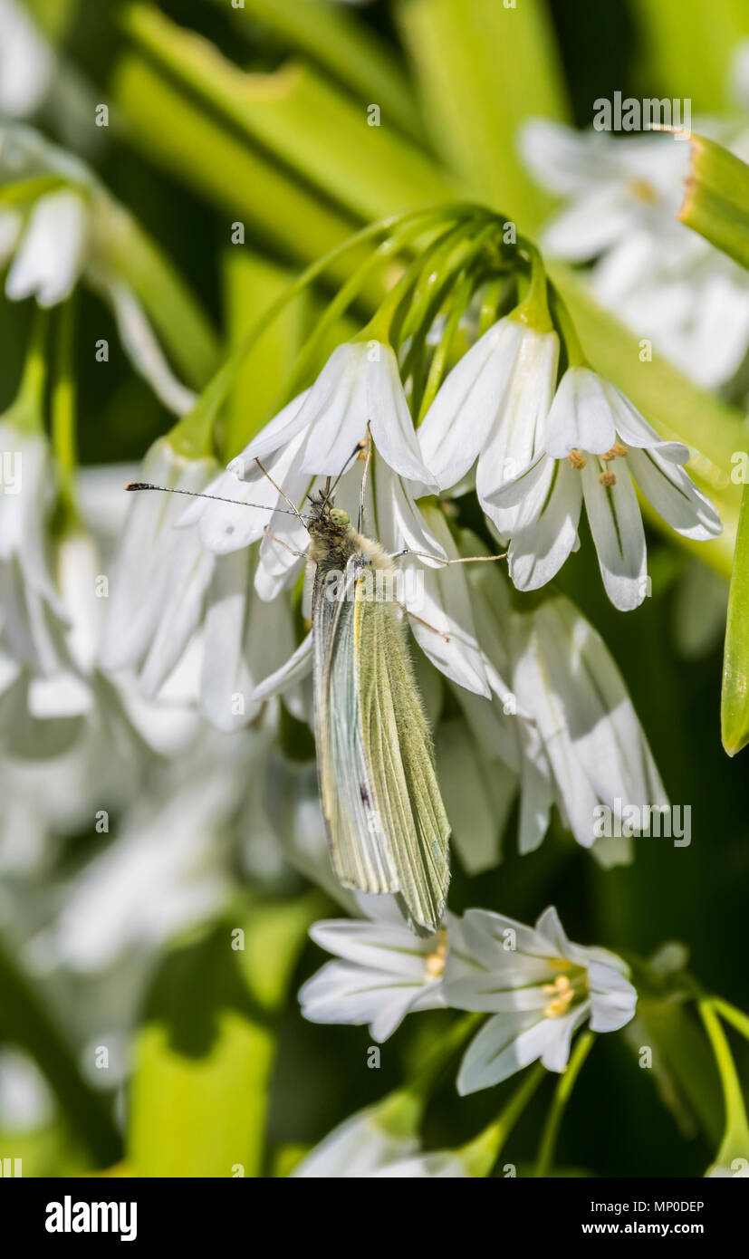 Green-Veined White butterfly (Pieris napi) well camouflaged on a Three-cornered Garlic (Allium triquetrum) plant in late Spring in the UK. - Stock Image
