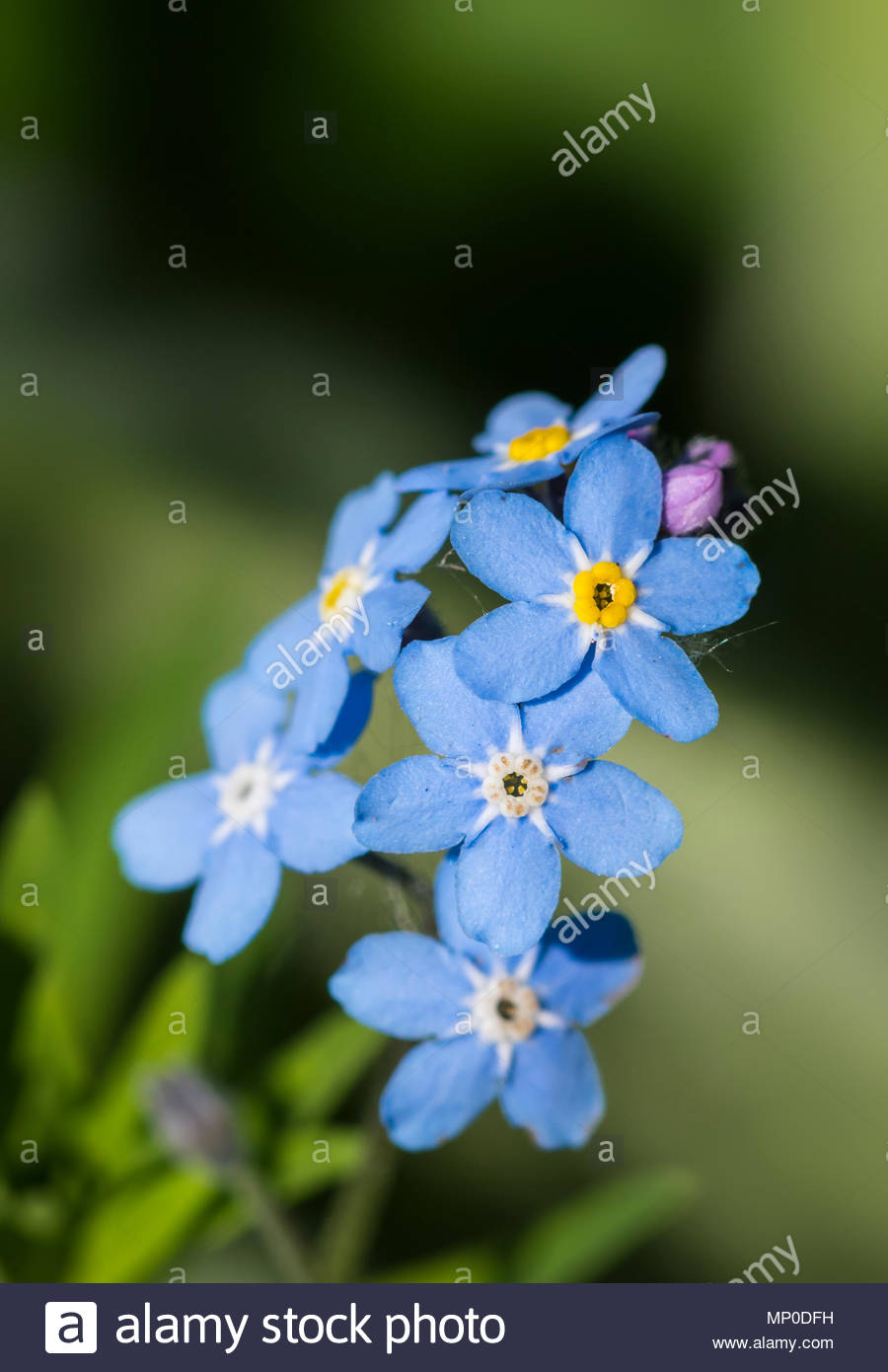 Forget me not small blue flowers from the genus myosotis flowering forget me not small blue flowers from the genus myosotis flowering in late spring in the uk blue forget me nots izmirmasajfo