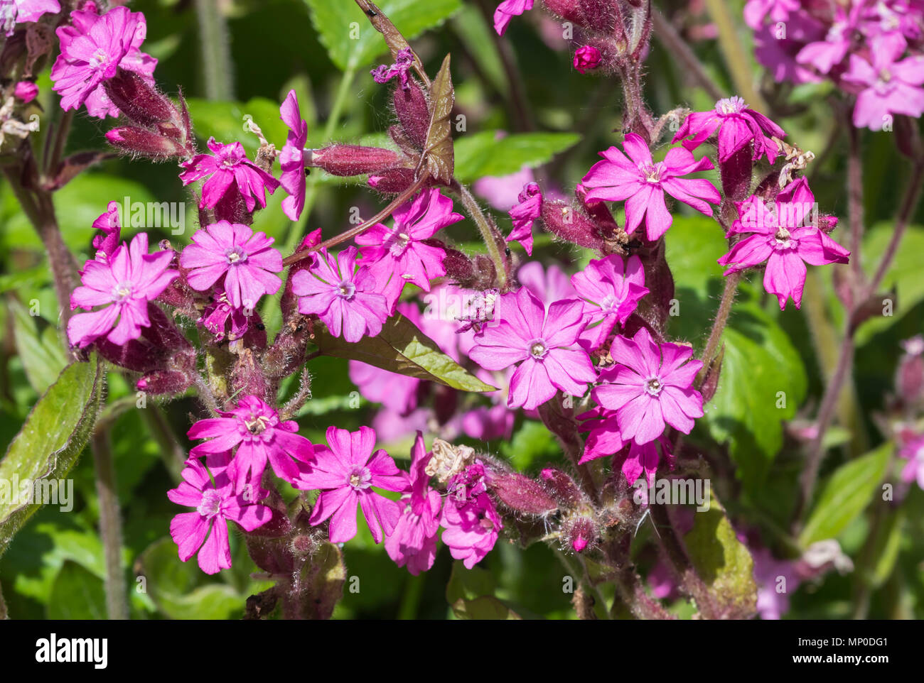 Red Campion flowers (Silene dioica) in late Spring in West Sussex, England, UK. Stock Photo