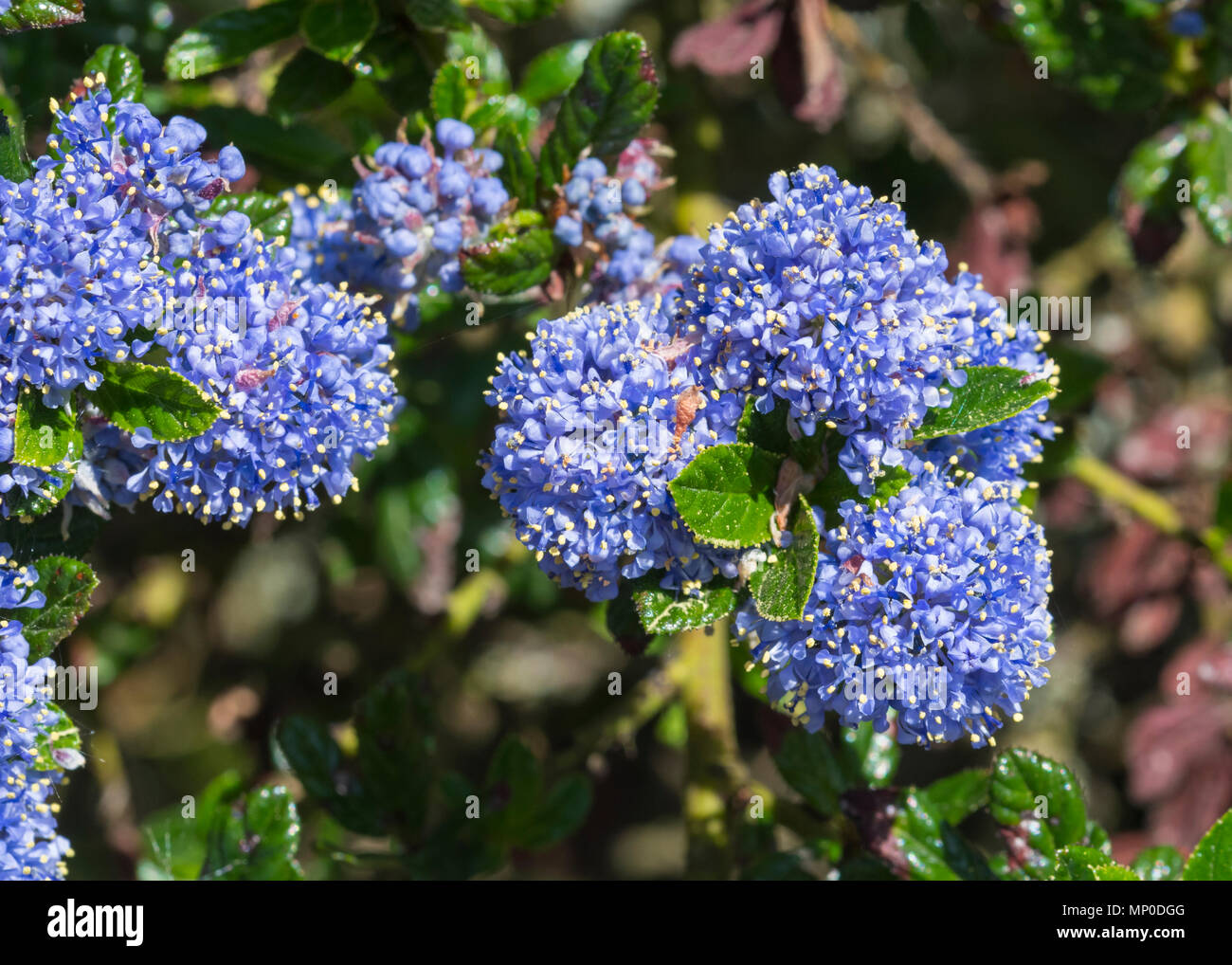 Californian lilac (Ceanothus) closeup growing in late Spring in West Sussex, England, UK. - Stock Image