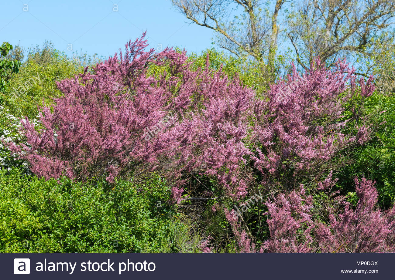 Redish plant of the Tamarix genus by water in late Spring in West Sussex, England, UK. - Stock Image